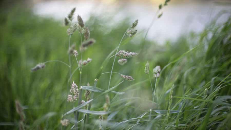 windy grasses