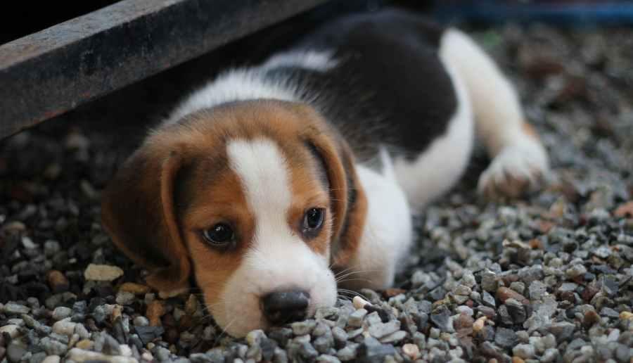 animal beagle canine close up